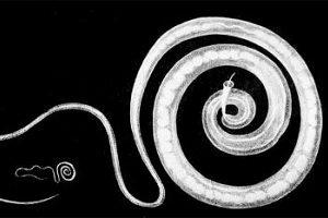 Fadenwurm