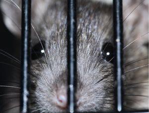 Großstadt-Ratte